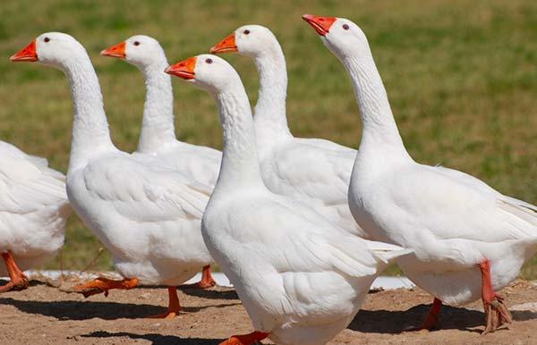 غاز امبدن (Embden goose) - اندیشه سبز