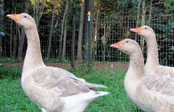 غاز بوف آمریکایی (american buff goose) - اندیشه سبز