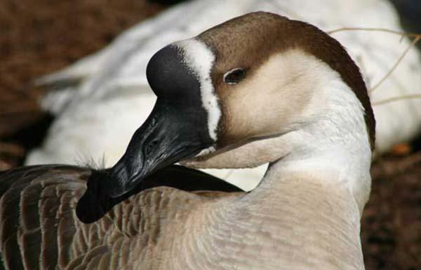 غاز چینی (chinese goose) - اندیشه سبز