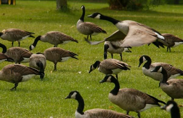 غاز کانادایی (canada goose) - اندیشه سبز