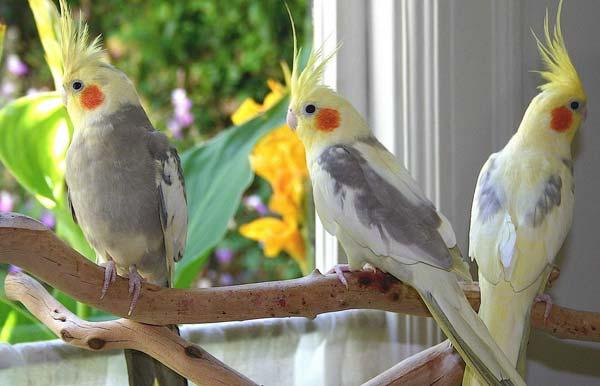 فروش پرنده های زینتی- اندیشه سبز