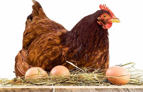 آیا استرس باعث افت تخمگذاری مرغ میشود - اندیشه سبز