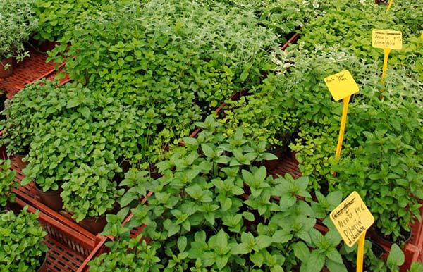 آیا راه اندازی گلخانه گیاهان دارویی توجیه اقتصادی خواهد داشت - اندیشه سبز