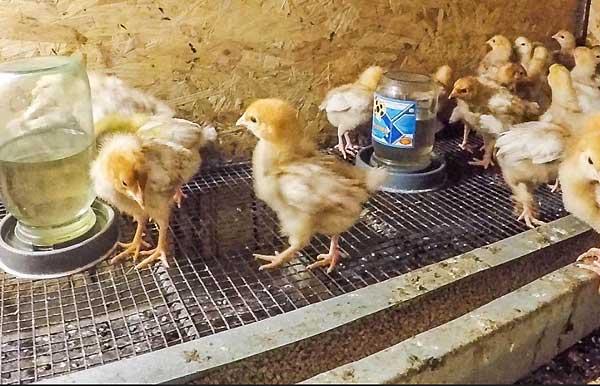 انواع ویتامینهای لازم برای رشد سریع جوجه مرغ ها - اندیشه سبز
