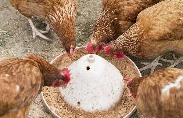 تغذیه مناسب برای افزایش تخمگذاری مرغ - اندیشه سبز