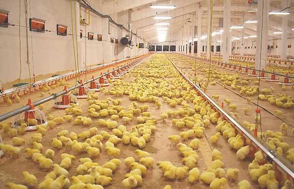 رعایت بهداشت در پرورش جوجه های مرغ - اندیشه سبز