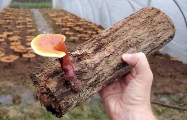 مراحل پرورش قارچ گانودرما - اندیشه سبز
