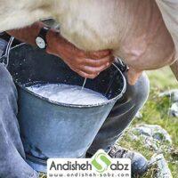 اشتباهات رایج در شیردوشی گاوهای شیری - اندیشه سبز