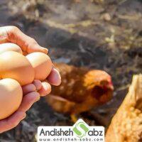 اصول و تکنیک های پرورش مرغ تخم گذار در قفس و بستر - اندیشه سبز