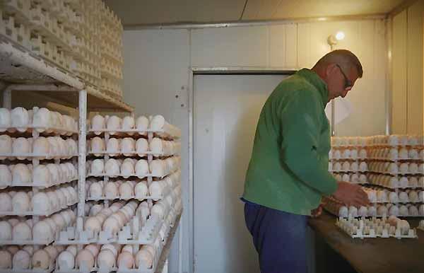اصول پرورش بوقلمون تخم گذار - اندیشه سبز