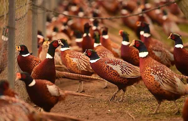 اهداف تجاری پرورش قرقاول - اندیشه سبز