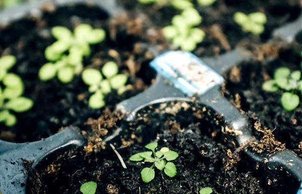 بذرهای استاندارد چگونه تولید می شوند - اندیشه سبز