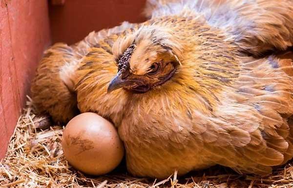 شیوه پرورش مرغ تخمی در سالن - اندیشه سبز