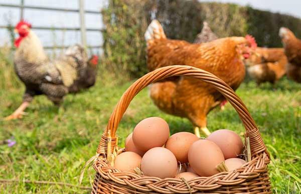 فواید پرورش و نگهداری مرغ و خروس در خانه - اندیشه سبز