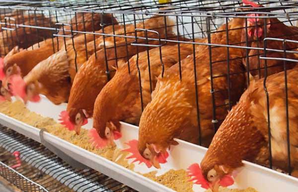 نحوه پرورش مرغ تخمگذار در قفس - اندیشه سبز