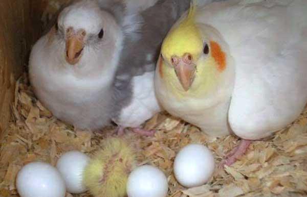 نکات مهم قبل از خرید تخم نطفه دار عروس هلندی - اندیشه سبز