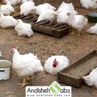 پرورش مرغ بومی در خانه - اندیشه سبز