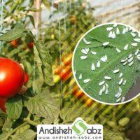 آفات گلخانه گوجه فرنگی - اندیشه سبز