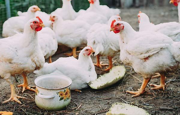 آماده سازی مکان مناسب برای نگهداری از مرغ گوشتی - اندیشه سبز