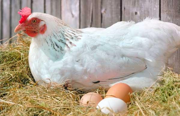 بررسی گله مولد و تخمگذار - اندیشه سبز