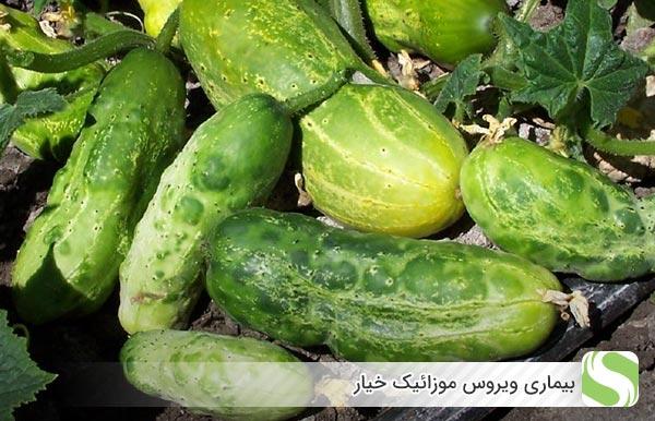 علائم بیماری موزائیکی خیار - اندیشه سبز