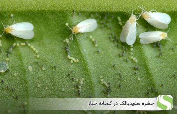 افت سفیدبالک در خیار گلخانه ای - اندیشه سبز