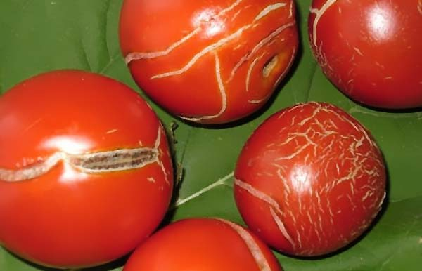 علت زخم های زیپ مانند بر روی گوجه فرنگی چیست - اندیشه سبز
