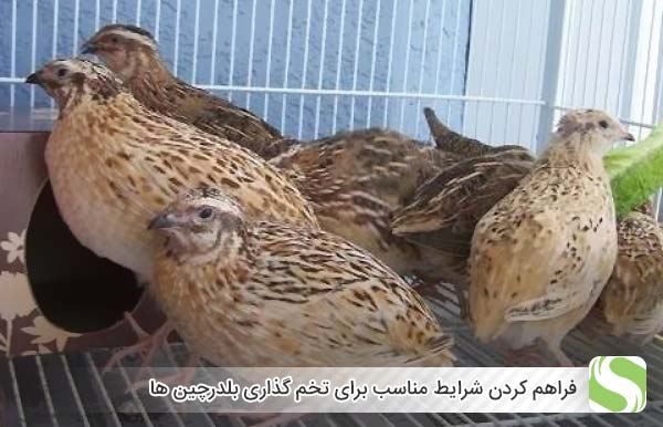 فراهم کردن شرایط مناسب برای تخم گذاری بلدرچین ها - اندیشه سبز