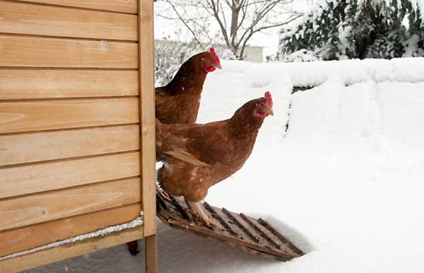 مراقبت از مرغ ها در برابر سرما - اندیشه سبز