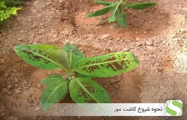 نحوه شروع کاشت موز - اندیشه سبز