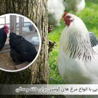 آشنایی با انواع مرغ های گوشتی برای خانه و سالن - اندیشه سبز