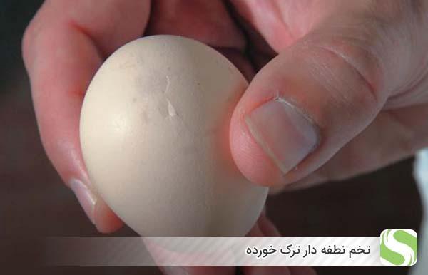 تخم نطفه دار ترک خورده- اندیشه سبز