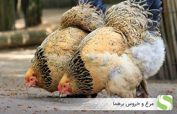 مرغ و خروس برهما - اندیشه سبز