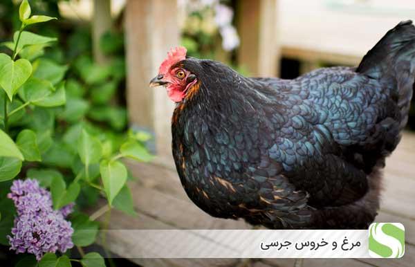 مرغ و خروس جرسی - اندیشه سبز