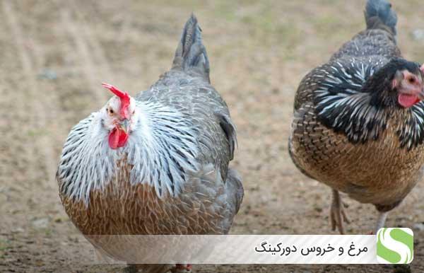 مرغ و خروس دورکینگ - اندیشه سبز