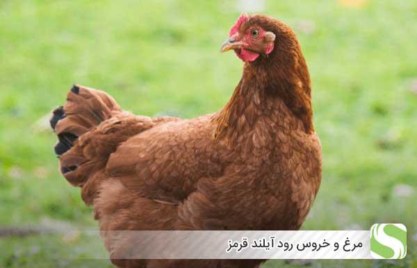 مرغ و خروس رود آیلند قرمز - اندیشه سبز