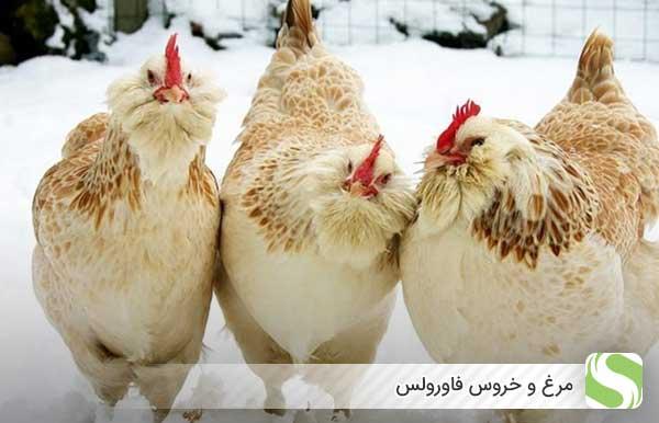 مرغ و خروس فاورولس - اندیشه سبز