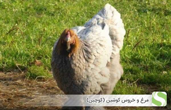 مرغ و خروس کوشین (کوچین) - اندیشه سبز