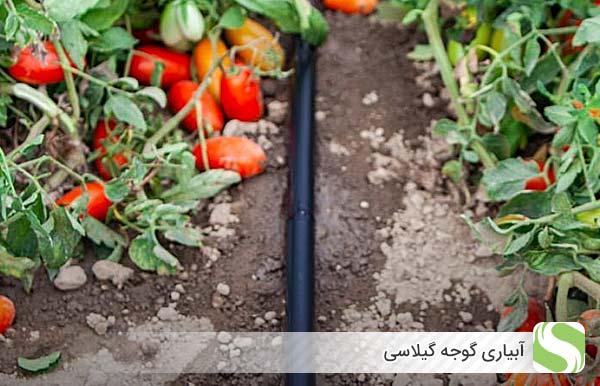 آبیاری گوجه گیلاسی - اندیشه سبز