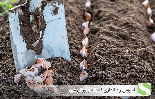 پرورش سیر در گلخانه - اندیشه سبز