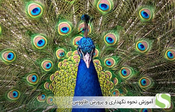 آموزش نحوه نگهداری و پرورش طاووس - اندیشه سبز