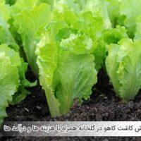 آموزش کاشت کاهو در گلخانه همراه با هزینه ها و درآمد ها - اندیشه سبز