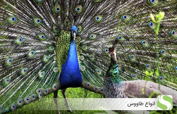 انواع طاووس - اندیشه سبز