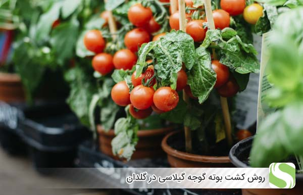 روش کشت بوته گوجه گیلاسی در گلدان - اندیشه سبز