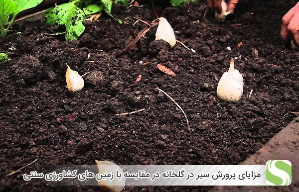 مزایای پرورش سیر در گلخانه در مقایسه با زمین های کشاورزی سنتی - اندیشه سبز