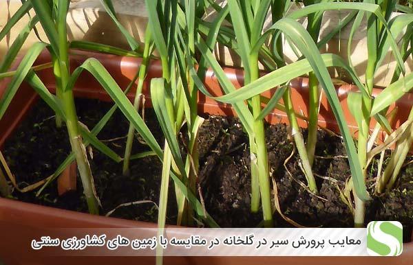 معایب پرورش سیر در گلخانه در مقایسه با زمین های کشاورزی سنتی - اندیشه سبز