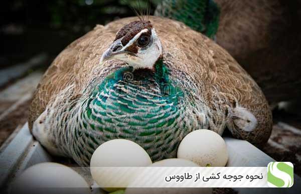 نحوه جوجه کشی طاووس - اندیشه سبز