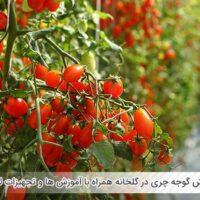 پرورش گوجه چری در گلخانه همراه با آموزش ها و تجهیزات لازم - اندیشه سبز
