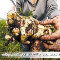 شرایط پرورش زنجبیل در گلخانه و آموزش کاشت و برداشت - اندیشه سبز