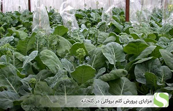 مزایای پرورش کلم بروکلی در گلخانه - اندیشه سبز
